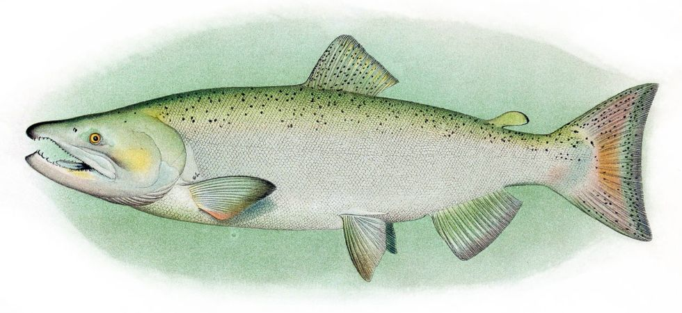 Chinook_Salmon_Adult_Male