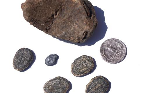 Small shells show more leg/bottom detail, somewhat rare.