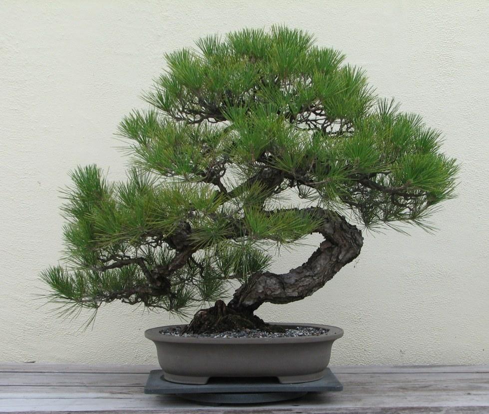 Japanese_Black_Pine _1936-2007